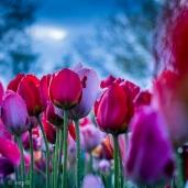 Tulpen bei Nacht