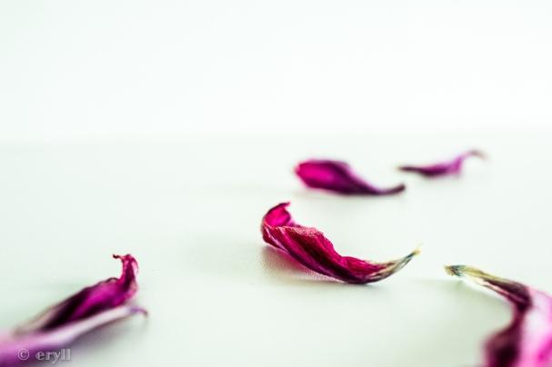 gefallene Tulpenblütenblätter